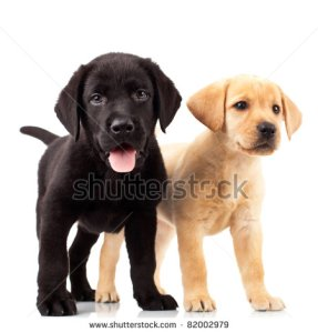 shutterstock-photo-two-cute-labrador-puppies-one-with-mouth-open-and-one-looking-away-82002979