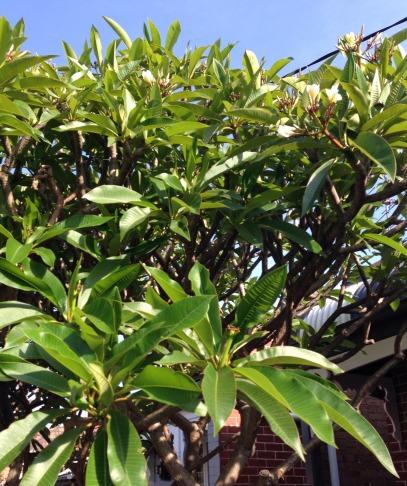 frangipani tree look closely
