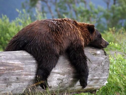 bear {google image search}